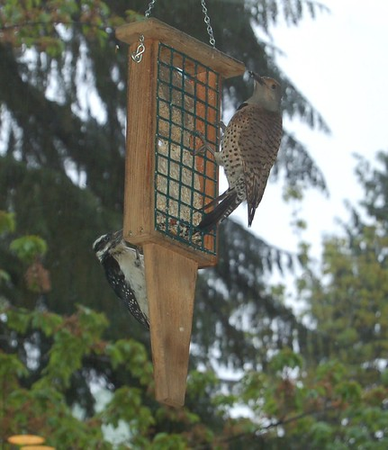 A Northern Flicker and a Hairy Woodpecker sharing the suet.