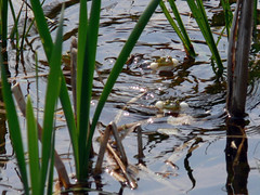 P1010317_resize (ivica_pl) Tags: frog zwierzta ostromecko aby thebp