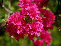 Bunga Kertas (Bougainvillea) 11 (Zairi) Tags: flowers flower bougainvillea malaysia bougainvilla bungakertas floresbugambiliasveraneras
