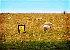 do androids dream of electric sheep? (pfig) Tags: trip travel holiday nature colors animal electric warning fence mammal colours sheep outdoor sightseeing stonehenge digilomo worldheritage wolly baaah pfig