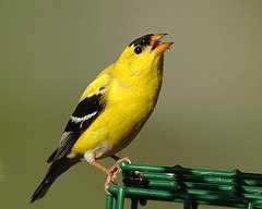 American Goldfinch....Singing the Blues (Momba (Trish)) Tags: bird yellow ilovenature nikon nikond70 bokeh tennessee goldfinch 200views nikkor americangoldfinch carduelistristis momba 1025fave interestingness459 i500 nikonstunninggallery specanimal explore09may2006 abigfave theperfectphotographer