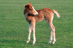 Spring Foal (DMC2006) Tags: new forest canon 350d spring pony foal