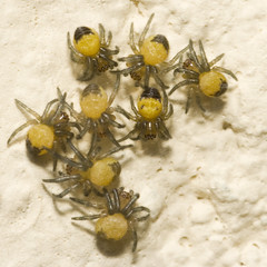 "Baby Cross, Garden Spiders (Araneus diadematus) • <a style=""font-size:0.8em;"" href=""http://www.flickr.com/photos/57024565@N00/144526609/"" target=""_blank"">View on Flickr</a>"