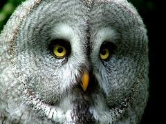 Great Grey ( laplanduil ) (jpockele) Tags: nature birds animals grey bravo quality great 500v50f owls uil featheryfriday bestof2006 specnature laplanduil