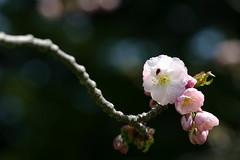 Sakura (kwc) Tags: topv111 japan hokkaido cherryblossom sakura goryokaku matsumae