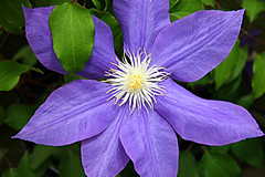 ruth's clematis (jaki good miller) Tags: flower petals interestingness purple searchthebest clematis explore exploreinterestingness jakigood top500 floweringvine flowerset explorepage explored gtaggroup goddaym1 explorepages