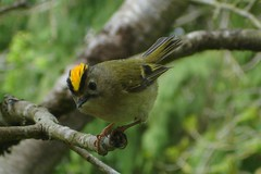 Goldcrest (Ilja) Tags: cute bird small tiny warbler goldcrest goudhaan kleinevogel somesortoffinchiguessbutimnotsure