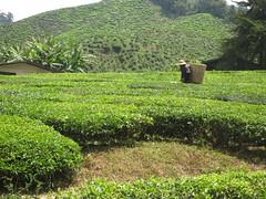 picking tea (downtempo) Tags: travel tea hills malaysia plantation cameronhighlands rtw teapicker cameronvalleyteaplanation