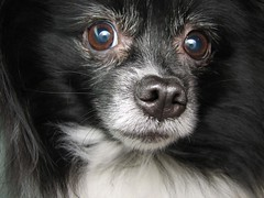Zoe Bear with ring flash diffuser eyes--No, wait!  George fixed it! (see comment below) (mimbrava) Tags: blackandwhite dog topv111 interesting mimbrava 28 pomeranian zoebear particolored ccrrfd setflickrfavorites set64intop5005 setzoebear