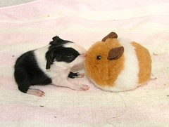 Dutch bub with furry twin (bivoir) Tags: pets cute guinea cavies cavy guineapigs adorable pigs aww cmcaug06