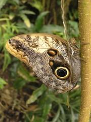 Papilio Memnon - Owl Butterfly (Dayflying moth ) (Gerard Bijvank) Tags: holland butterfly ilovenature zoo lovely1 loveit owlbutterfly lovely emmen papiliomemnon butterflygarden naturescene olympusc765uz dayflyingmoth thecontinuum lovephotography gerardbadenglish