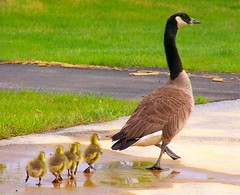 Waddling through a puddle... (Not The First Noel) Tags: family baby bird nature tag3 taggedout geese spring top20animalpix tag2 babies tag1 path walk goose gosling delaware wilmington brandywinetowncenter top20birdshots nikonstunninggallery delawareonline