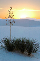 Soap Yucca @ sunset (Ozyman) Tags: usa topf25 landscape nationalpark topf50 scenery dune nm whitesand yucca usnationalparks soapyucca