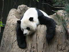 "Gao Gao and the ""art of relaxation"" (kjdrill) Tags: china california bear sleeping station giant panda sandiego sleep bears father chinese research species endangered sdzoo supershot gaogao"
