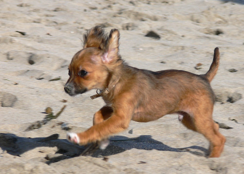 Long Haired Chihuahua Puppy by Vicki & Chuck Rogers