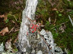British soldiers on dead tree (Martin LaBar (going on hiatus)) Tags: red tree dead rojo fungi stump lichen algae liquen britishsoldiers cladoniacristatella thecontinuum cladoniaceae boggsrock mutualism