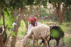 Sheperd with two of his sheep - Yemen (Eric Lafforgue) Tags: yemen lafforgue yemeni arabiafelix arabieheureuse arabia yemenia ericlafforgue lafforguemaccom  imen imen yaman yemni    iemen jemen jemenas    mytripsmypics wwwericlafforguecom arabie arabic ericlafforguecomericlafforgue contactlafforguemaccom yemenpicture yemenpictures  arabian arabianpeninsula alyaman republic   ramadan