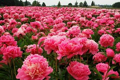 Floating on Pink clouds --- peonies (tollen) Tags: flowers flower oregon peony peonies