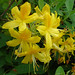 Yellow Azalea - Photo (c) Gertrud K., some rights reserved (CC BY-NC-SA)