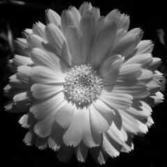 Black and White (Don Gru) Tags: blackandwhite bw white black flower fauna square squaredcircle blume wei schwarz 123bw