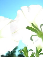 may flowers (the life of liza) Tags: flowers macro closeup virginia spring may 2006 richmond utata bloom richmondva mayflowers
