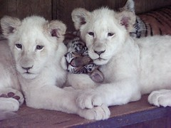 Threesome (Captain Kidd) Tags: baby white nature cub tiger lion cubs whitetiger whitelion