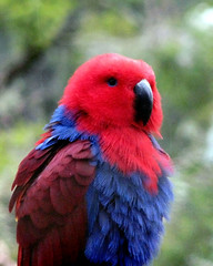 An Eclectus on a rainy day (Timmy Toucan) Tags: red beautiful rain canon zoo sad parrot australia melbourne victoria powershot melbournezoo s2is eclectus s2 roratus eclectusroratus