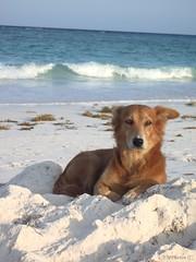 A Four Legged Model (N. Mexico) Tags: dog beach mexico riviera carribean playa 123 321 mexican ha xpuha pero allanimals payitforward colorsoftheworld xpu ilovetheocean dogsdogsdogs commentonmycuteness worldthrumyeyes