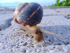 minutes away from a low-speed collision (kosova cajun) Tags: lake macro snail macedonia ohrid balkans makedonija struga southeasterneurope maqedonia strug