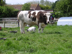 The Colonel: World's Biggest Cow with Normal Sized Cow Underneath for Scale (rosecarmady) Tags: mammal cow goat colonel bovine goatie horned bigcow fooddish goatgoatgoat oreamnosamericanus giantenormousbeast