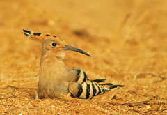 Poupa (Hoopoe) Upupa epops (jcoelho) Tags: portugal nature animals birdsinportugal avesemportugal poupa upupaepops hoopoe specanimal