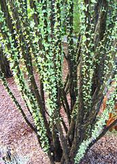 Leafy Ocotillo /o ko TEE yo/