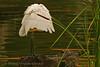 Ehhhh... a lampshade decorated with feathers? (bocavermelha-l.b.) Tags: greategret 105mmf28dmicro wildlifephotography 白鹭 inbali ardeaalbaegretta foundinnusadua inindonesia likeaballerina 2xtelepluspro300 mi–im feitobailarina wildlifesoutheastasia shootingwithd70s ダイサギ эгрет белаяцапля wildlifebali