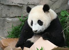 Maybe I can wrap myself up and send myself to Daddy (somesai) Tags: panda sad tian tai nationalzoo endangered pandas meixiang taishan dczoo butterstick 34f pandaunlimited