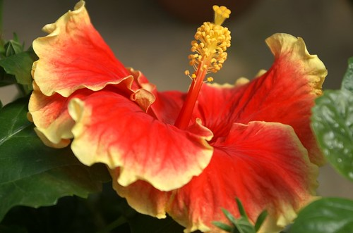 hibiscus bunga raya