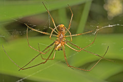 """Spiders Mating 2 • <a style=""""font-size:0.8em;"""" href=""""http://www.flickr.com/photos/57024565@N00/161669032/"""" target=""""_blank"""">View on Flickr</a>"""