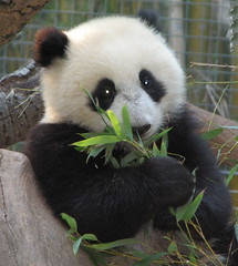 Little Su makes claim to being the cutest panda girl ever. (kjdrill) Tags: china california bear baby topf25 station animal giant zoo cub panda sandiego bears chinese research brighteyes pandas endangeredspecies sdzoo sulin splendiferous abigfave