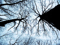 Swamp White Oak (Chris Seufert) Tags: trees ma films massachusetts swamp concord mooncusser