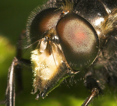 """Macro Of A Hoverfly Head • <a style=""""font-size:0.8em;"""" href=""""http://www.flickr.com/photos/57024565@N00/167177449/"""" target=""""_blank"""">View on Flickr</a>"""