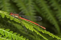 """large red damselfly • <a style=""""font-size:0.8em;"""" href=""""http://www.flickr.com/photos/57024565@N00/168271176/"""" target=""""_blank"""">View on Flickr</a>"""