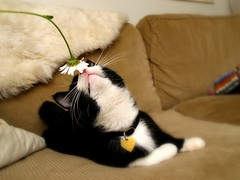 Snifff! (Dr. Hemmert) Tags: pet cats black flower cute animal cat kitten sweet kitty sofa daisy sniffing artemis toxedo blackmasked