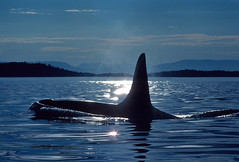 Killer Whale (fotolen) Tags: love nature killer whale