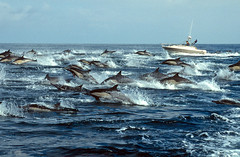 Lots of Company--Common Dolphins Galore! (fotolen) Tags: love nature pod san pedro dolphins channel delphinus delphis nikonstunninggallery