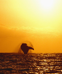 Breach at Sunset (ScottS101) Tags: ocean ilovenature mammal hawaii pacific wildlife whale humpback kona allrightsreserved megapteranovaeangliae breach ilovetheocean megaptera copyrightscottsansenbach2008