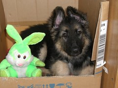 Simba....(and his rabbit) (sure2talk) Tags: dog puppy explore alsation gsd germanshepherddog btls exploreshot cmcaug06