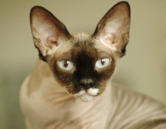 (Vina the Great) Tags: cat nude nora sphynx hairless birthdaygirl