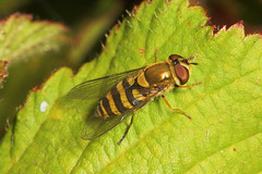 """hoverfly (syrphus ribesii)(2) • <a style=""""font-size:0.8em;"""" href=""""http://www.flickr.com/photos/57024565@N00/172488737/"""" target=""""_blank"""">View on Flickr</a>"""