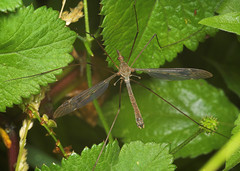 "Crane-fly  (Tipula oleracea)(1) • <a style=""font-size:0.8em;"" href=""http://www.flickr.com/photos/57024565@N00/176264812/"" target=""_blank"">View on Flickr</a>"