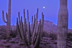 Organ Pipe Cactus National Monument: Arizona (AZ) (Floyd Muad'Dib) Tags: arizona cactus plants usa moon mountain plant mountains southwest america cacti geotagged unitedstates united north pipe az fullmoon southern organ vegetation northamerica states saguaro americanwest sonorandesert saguaros ajo saguarocactus arizonadesert organpipe arizonacactus southernarizona westernusa organpipecactus organpipecactusnationalmonument pimacounty ajomountain organpipecactusnm azcactus arizonapassages