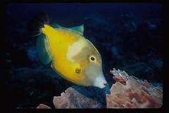 Gaudy Filefish (laszlo-photo) Tags: fish mexico underwater playadelcarmen scuba caribbean reef sponge